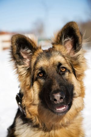 pappy:  Pappy of german shepherd dog (close-up)