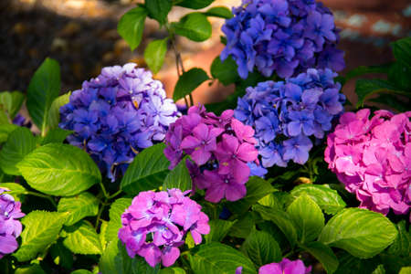 Blue and pink hortensia flowers with green leaves taken in a shadow part of a graveyard in Malmö, Sweden 版權商用圖片