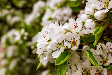 White flowered tree with green leaves in closeup