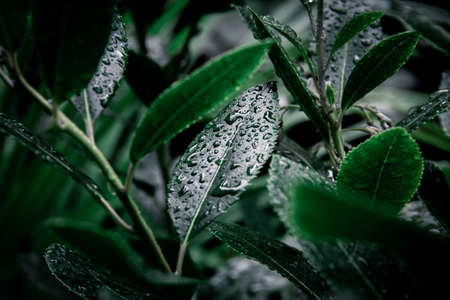 A bush with some dark green leaves in closeup with lots of raindrops on.