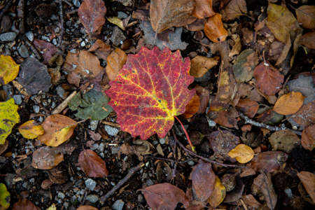 A single red autumn leaf has landed on the ground and pops out compared to the background.