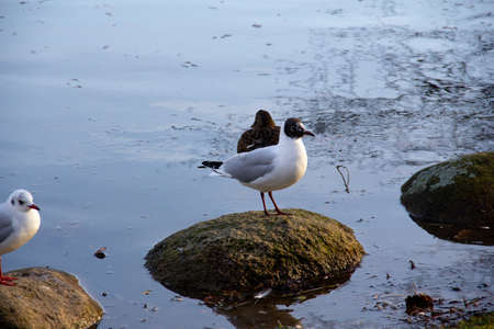 A Black-headed gull (Chroicocephalus ridibundus) is standing on a rock in the water in the winter sunlight
