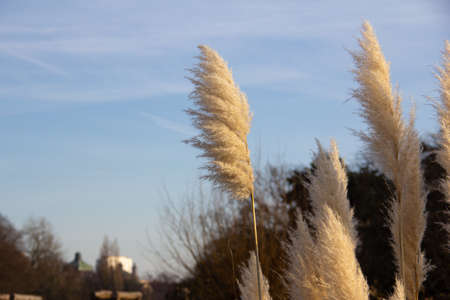 Some fluffy reed is waving in the strong winds on a cold winter day in Malmö, Sweden Stock fotó