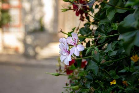 Light pink flowers on green bush