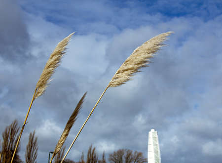 Some tall grass reed blowing in the cold winter wind in a park in Malmö, Sweden Banque d'images
