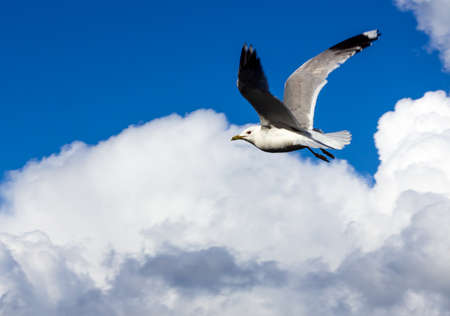 A common seagull is flying with wings spread out agains a clear blue sky with fluffy clouds. Freedoom. 스톡 콘텐츠
