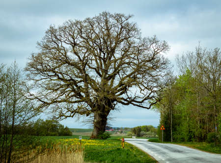 An oak tree without leaves stands grand close to a winding country road in the farmlands of southern Sweden. Rural area.