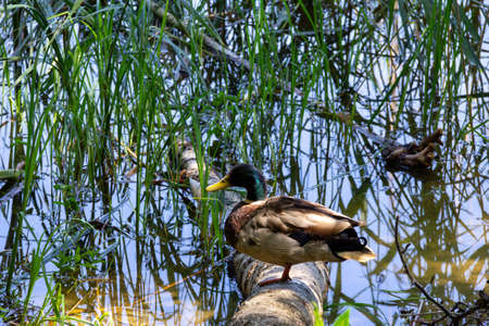 Mallard duck standing on a tree trunk in water on a sunny summer day