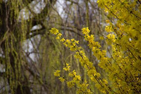 A Forsythia bush in full bloom in a park in Malmö, Sweden, during springtime 免版税图像