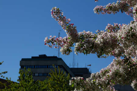 A tree in full bloom outside the hospital building in Lund, Sweden, on a warm spring day 免版税图像
