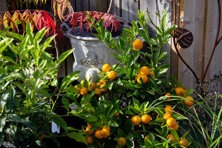 A plant with small growing oranges in the natural sunlight