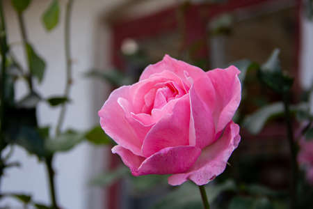 A single pink rose flower is in focus