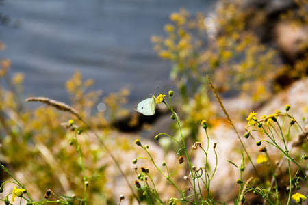 A single white butterfly has landed on a yellow flower that grows close to the water which is seen blurred out in the background Imagens