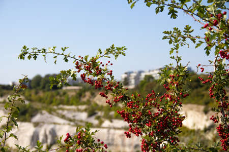 A tree holds lots of red berries as it grows next to the protected area called Kalkbrottet in Malmö, Sweden, an old limestone quarry