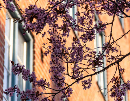 A tree in full bloom with pink flowers towards a sunlit red brick facade in Malmö, Sweden, during springtime