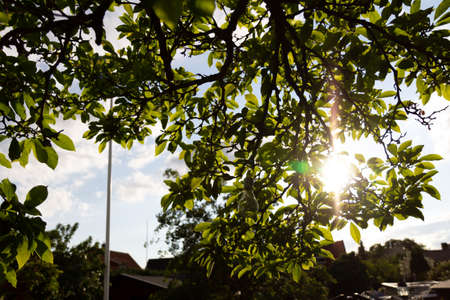 The sun is shining through some green leaves in a garden on a warm summer evening in Sweden