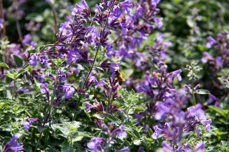 A single bee is gathering nectar from a bush with purple flowers on a late summer day in Sweden 版權商用圖片