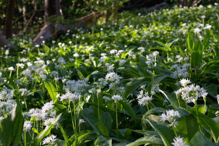A field of blooming garlic plants in the shade of a forest in the park Alnarpsparken, Sweden 版權商用圖片