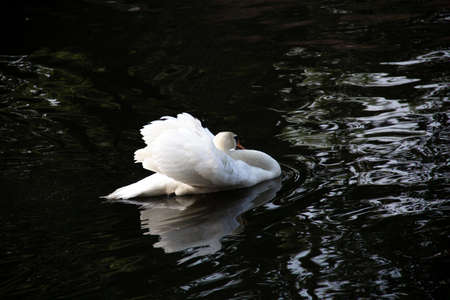 A mute swan is slowly gliding by on the black water while expanding its white wings Foto de archivo