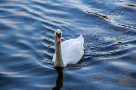 A single mute swan is swimming towards the photographer in the cold dark blue lake water 版權商用圖片