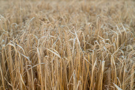 A closeup of a rye field as the rye is golden and ready to be harvested during summer and early fall Standard-Bild