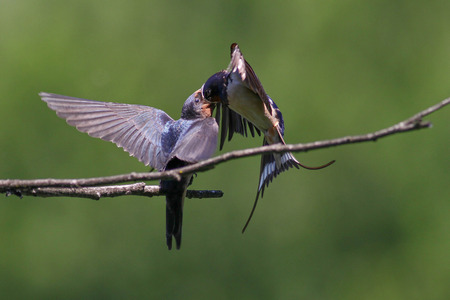 barn swallow: Adult barn swallow feeding a young one on a dead branch