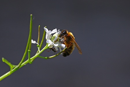 Honeybee with ant on a white flower