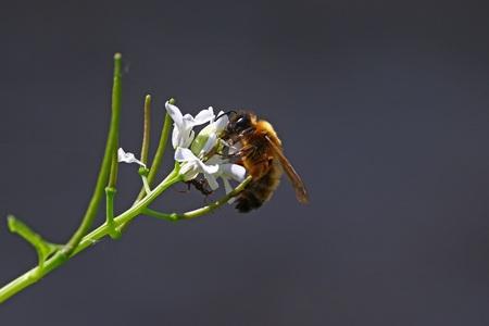 honeybee: Honeybee with ant on a white flower