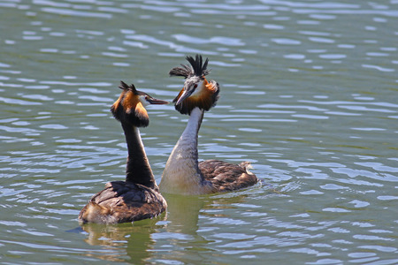 the ornithology: Great crested grebes mating love dance for marriage