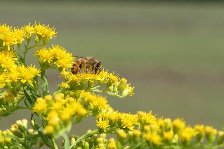 honeybee: Honeybee on yellow flowers Stock Photo