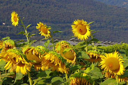 farming area: Sunflower farming field in front of greenhouses in a mountainous area Stock Photo