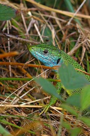 lacerta viridis: Green lizard Lacerta viridis in mating colors in its natural habitat