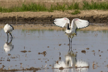 water wings: Sacred ibis reflected in water with open wings in its natural habitat Stock Photo