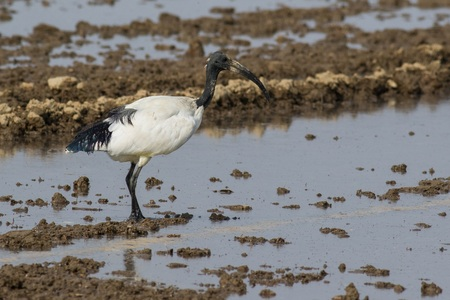 curved leg: Sacred ibis in water in its natural habitat