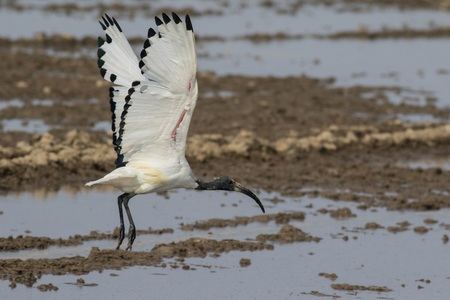 curved leg: Sacred ibis in flight with open wings in its natural habitat