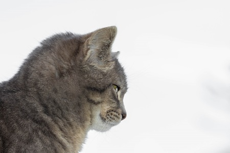 purr: Side view of a cat isolated on white