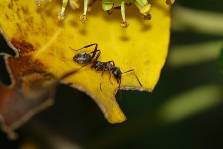 hormiga hoja: Hormiga en la hoja amarilla Foto de archivo
