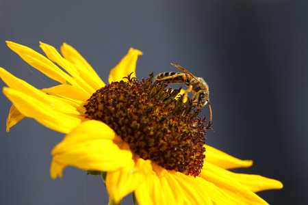 wasp: Avispa en un girasol