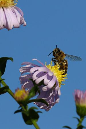 honeybee: Honeybee on yellow and pink flowers against blue skies