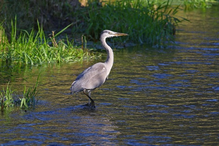 natural habitat: Grey heron in its natural habitat Stock Photo