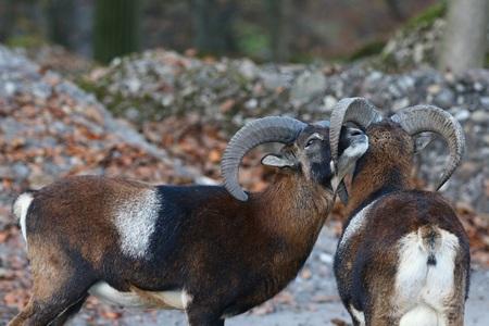 ovis: Couple of mouflons Ovis Musimon cuddling in their natural habitat