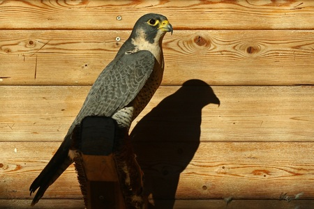 peregrine falcon: Peregrine Falcon Falco peregrinus perched in front of wooden cabin