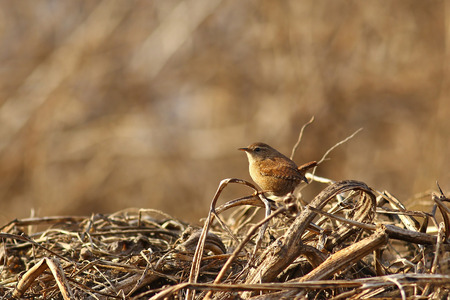 mimetic: Eurasian Wren, Troglodytes troglodytes on dead branches against a blurred brown background