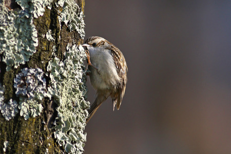 mimetic: Tree creeper, Certhia Familiaris, climbing on a tree trunk eating an insect dug out of the bark Stock Photo
