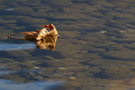 dead leaf: Dead leaf floating on the surface of a shallow lake with reflections and visible rocky bottom