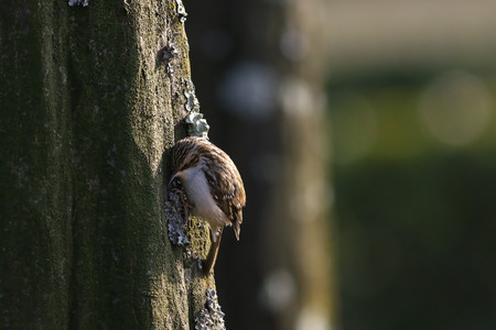 familiaris: Tree creeper, Certhia Familiaris, climbing on a tree trunk eating an insect dug out of the bark Stock Photo