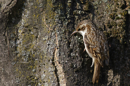familiaris: Tree creeper, Certhia Familiaris, climbing on a tree trunk looking for insects in the bark