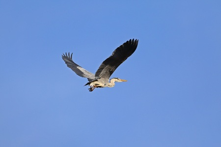gray herons: Grey heron soaring in flight against a clear blue sky on a sunny day