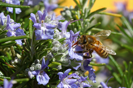 Honeybee going through a rosemary flower Stock Photo