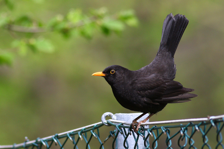 chain link fence: Blackbird striking a mating pose on a chain link fence against a blurred green background Stock Photo